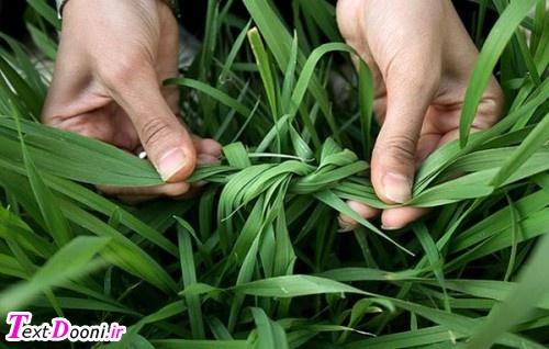 عزیزان توجه داشته باشید که اگه زیاد محکم گره بزنید که سبزه پاره بشه بختتون کور میشه و میترشید سیزده بدر مبارک !